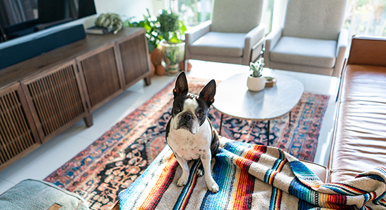 French bulldog in living room